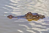 Gator Eyes