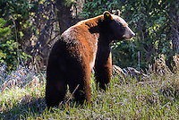 A Yukon black bear eats in the morning sun