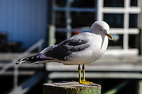 Norway, Lofoten. Common gull in Henningsvær.