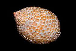 partridge tun snail shell, Tonna perdix, known to feed on sea cucumbers, swallowing them whole with an enormously expandable proboscis, Indo-Pacific Ocean