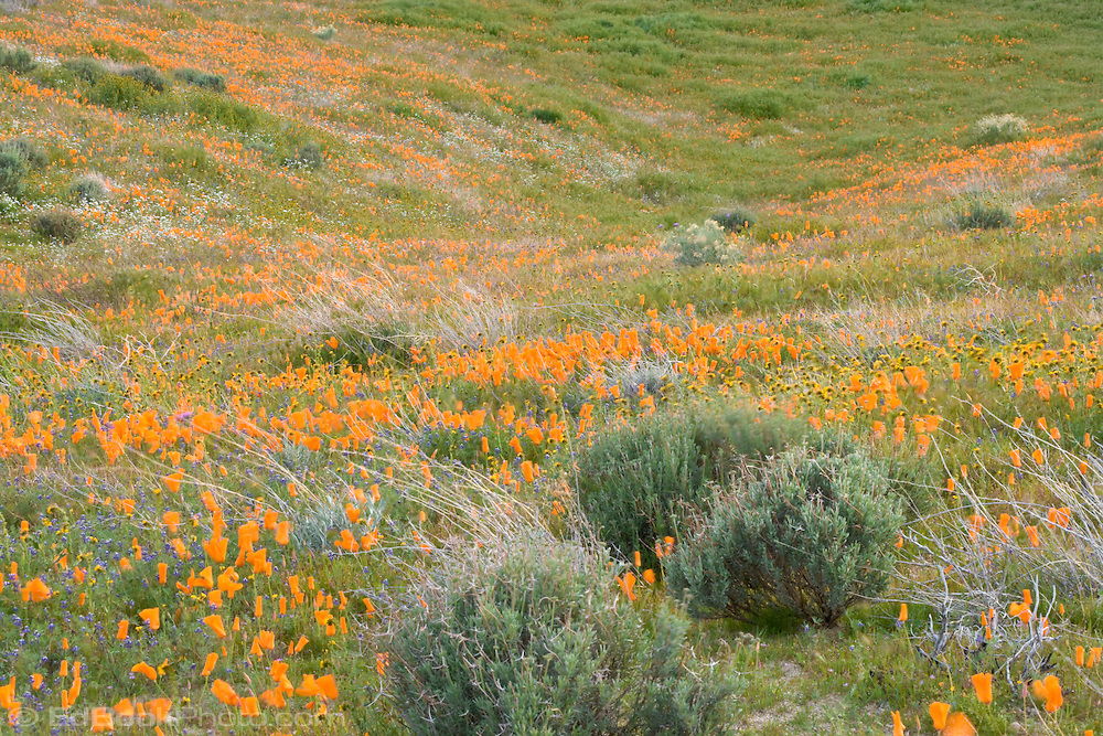 California poppies blanket a hillside at the California Poppy Reserve at Antelope Valley, California, USA.
