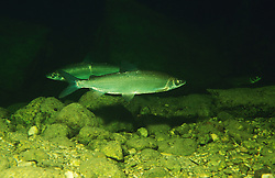 Coregonus sp., Reinanke, Renke, common whitefish, Hallstaetter See, Österreich, Austria