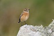Stonechat - Saxicola torquata - female