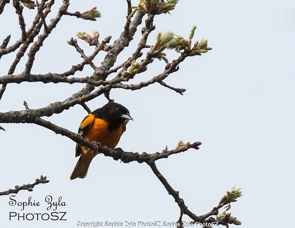 Baltimore Oriole at Beech Forest, Provincetown, MA