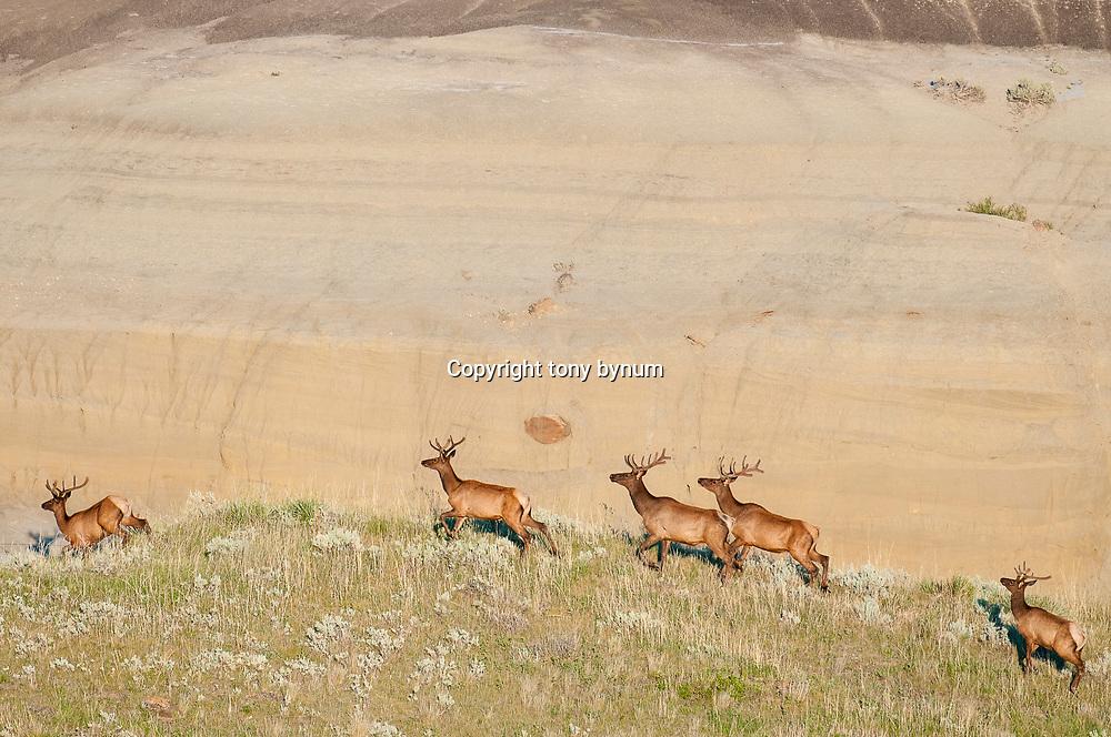 bull elk in velvet on the prairie eastern montana,
