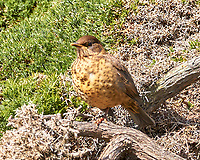 Austral Thrush (Turdus falcklandii). Image taken with a Leica T camera and 18-56 mm lens.