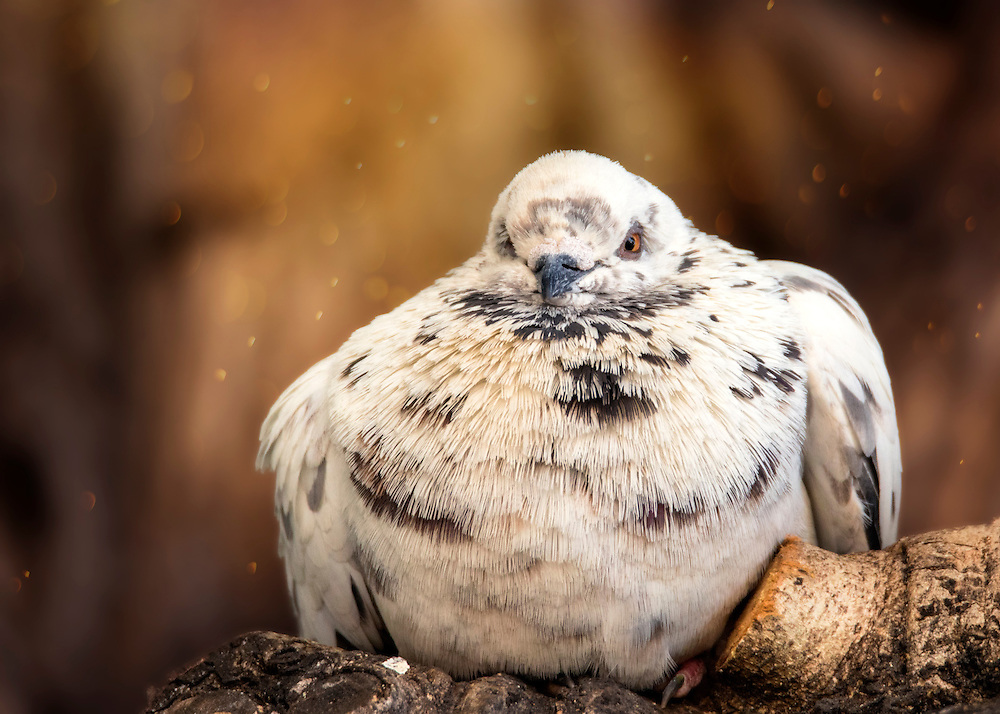 A Feral Pigeon basks in the crevice of an old tree. Feral pigeons, also called city doves, city pigeons, or street pigeons, are derived from domestic pigeons that have returned to the wild.