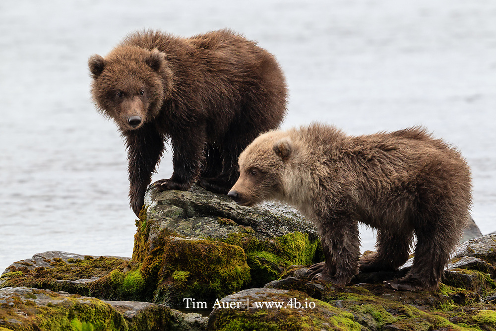In 1857, Grizzly Adams built a grizzly trap northwest of Crystal Springs and captured bear cubs he used in his San Francisco menagerie.