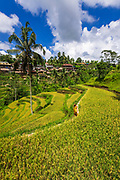 Woman in the rice fields at Tegallalang Rice Terrace, Bali, Indonesia