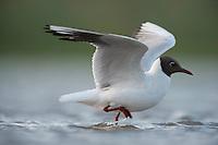 Black-headed Gull (chroicocephalus ridibundus) on lake Belau, Moldova