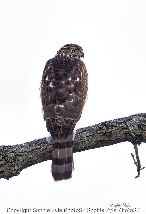Cooper's Hawk Watching Me
