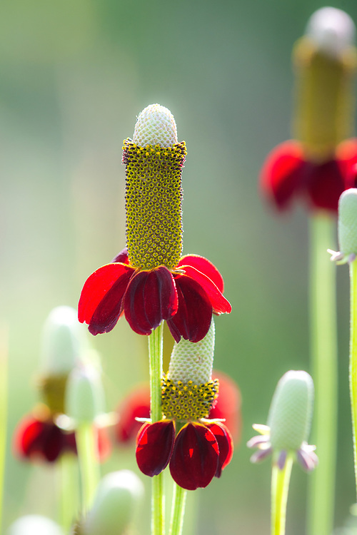 Mexican hat wildflowers, West Rim, Taos, New Mexico