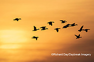 00754-02801 Snow Geese (Anser caerulescens) in flight at sunset Marion Co. IL