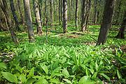 "Ramsons or wild garlic (Allium ursinum) gorgeously covers forest floor in broad leaved forest, Nature park ""Kuja"" (dabas parks ""Kuja""), Latvia Ⓒ Davis Ulands   davisulands.com"