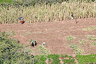 Farmer working in a cultivated field in the Ounila Valley, Morocco.