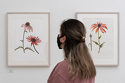 © Licensed to London News Pictures. 17/09/2021. LONDON, UK. A staff member views illustrations of Echinacea by Jarnie Godwin.  Preview of the RHS Botanical Art & Photography Show 2021 at the Saatchi Gallery.  More than 200 pieces featuring an array of scientifically accurate botanical illustrations by 15 artists and portfolios from 19 photographers are on show September 18 to October 3, 2021 in an event that runs parallel to the RHS Chelsea Flower Show, hosted for the first time in Autumn.  Photo credit: Stephen Chung/LNP