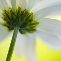 close up of the back side of a daisy with matching background color