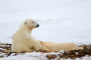 01874-12506 Polar bears (Ursus maritimus) mother nursing cub, Churchill Wildlife Management Area, Churchill, MB Canada