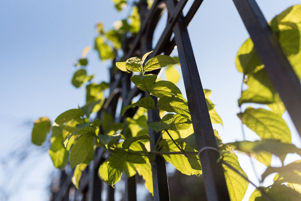 12 October 2018, Bethlehem, Occupied Palestinian Territories: Leaves grow through a fence in Bethlehem, in the Occupied Palestinian Territories.