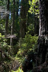 Rain Forest, California Redwoods, Klamath, California