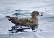 Flesh-footed Shearwater - Puffinus carneipes