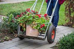 Using a sack truck to bring in a heavy tender pot plant - pelargonium - to overwinter