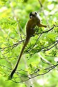 Apenheul is een gespecialiseerde dierentuin aan de rand van de Nederlandse stad Apeldoorn. De tuin ligt midden in het natuurpark Berg & Bos (200 ha). In Apenheul leven apen uit Afrika, Zuid-Amerika en Azië. De dieren leven er heel vrij: gaas of tralies ziet men er bijna niet. Sommige soorten lopen zomaar tussen de bezoekers rond. <br /> <br /> Op de foto:  Doodshoofdaapjes