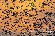 00754-02817 Snow Geese (Anser caerulescens) in flight at sunset Marion Co. IL