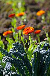 Calendula officinalis 'Indian Prince' (English marigold) growing amongst Kale 'Cavalo Nero' in the vegetable garden