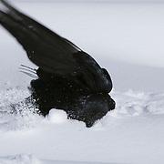 A raven takes a snow bath. Yellowstone National Park, Wyoming