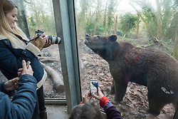 © Licensed to London News Pictures. 13/01/2020. Cribbs Causeway, South Gloucestershire, UK. The four bears at Wild Place Project celebrate their birthdays with a birthday cake and presents. The bears have also been presented with a cake baked by local celebrity baker, Briony Williams, semi-finalist of The Great British Bake Off. The four European brown bears at home in Bear Wood are all celebrating their second and third birthdays within a week of each other. The bears, called Gemini, Albie, Nilas and Neo, arrived at the south Gloucestershire attraction last summer for the opening of the UK's largest and most ambitious brown bear exhibit. Although huge, the bears are not yet fully grown and they could eventually grow up to 350kg for males and 200kg for females. Brown bears are one of the largest living carnivores. On average, adult males are eight to 10 per cent larger than females but sizes vary according to the location of the species. Bear Wood is also home to wolves, lynx and wolverine. Photo credit: Simon Chapman/LNP.