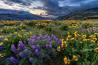 A Spring sunrise on Rowena Crest in the Columbia River Gorge in Oregon as the wildflowers bloom on the hillsides.