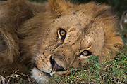 Close up portrait of a male lion, Panthera leo, facing the camera.