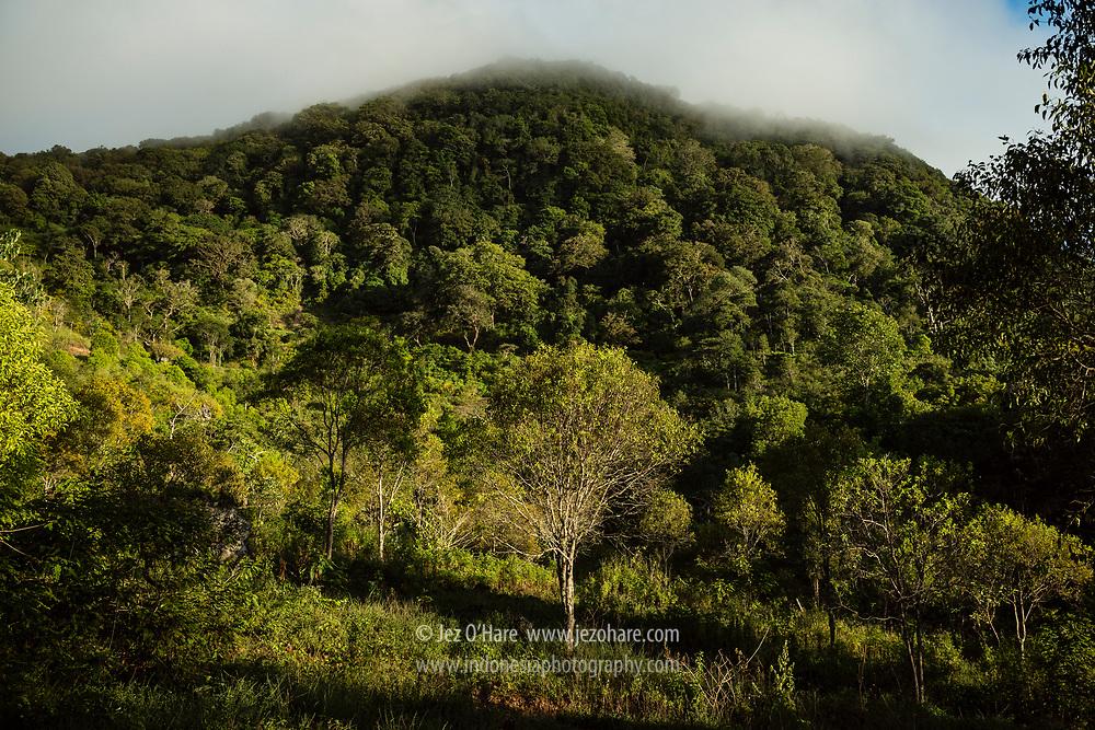 Hutan cendana / sandalwood forest, Fulan Fehan, Lamaknen, Belu, Timor, Nusa Tenggara Timur, Indonesia.