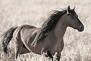 HE-LUSH-KA IS THE WINNEBAGO WORD FOR FIGHTER. THIS STALLION AT RETURN TO FREEDOM IS PROUD, STRONG, AND FIGHTS FOR HIS HERD – HE PROTECTS THEM AND TELLS THEM WHEN IT'S TIME TO MOVE. I COULD JUST WATCH HIM ALL DAY. HE'S STUNNING WITH HIS LONG MANE AND FIRE BEHIND HIS EYES.