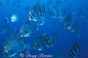Atlantic spadefish, Chaetodipterus faber, <br /> wreck of the Caribsea, North Carolina, USA <br /> ( Western Atlantic Ocean )