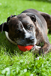 Rescued from being used as a bait dog Otto the Boxer Cross who has been at Rotherham dog rescue for 4 years loves playing ball<br /> 121129<br /> <br /> 11 July 2012<br /> Image © Paul David Drabble