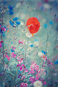 License:<br /> http://www.trevillion.com/search/preview/poppy-and-flowers-in-meadow/0_00218422.html