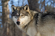 Gray wolf (Canis lupus) with blood on its muzzle and whiskers in winter habitat. Captive pack.
