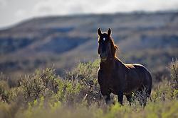 Wyoming Mustang Stallion in the desert near Rock Springs.