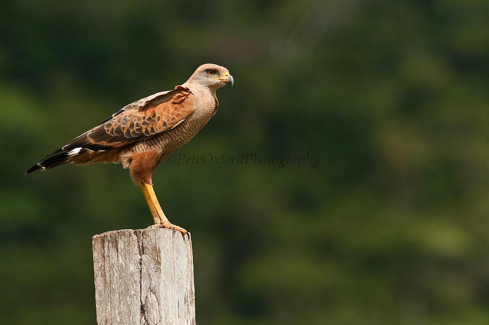 Savannah Hawk (Heterospizias meridionalis)<br /> Savannah, Rupununi<br /> GUYANA<br /> South America<br /> RANGE: South America