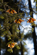 Monarch Butterflies mass in the Sierra Chincua mountain at the Monarch Butterfly Biosphere Reserve in Sierra Chincua central Mexico in Michoacan State. Each year hundreds of millions Monarch butterflies mass migrate from the U.S. and Canada to Oyamel fir forests in the volcanic highlands of central Mexico. North American monarchs are the only butterflies that make such a massive journey—up to 3,000 miles (4,828 kilometers).