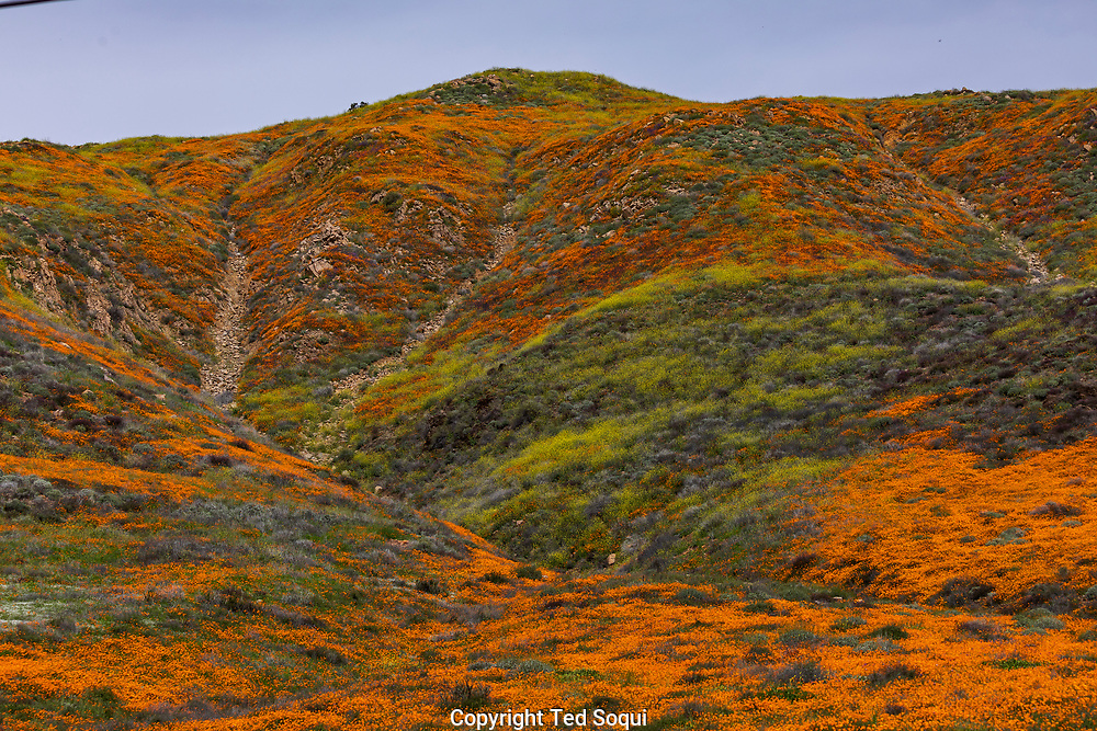California poppies and various wild flowers begin to bloom in southern California. Heavy rains during the winter contributed to the super bloom.<br /> Photo by Ted Soqui/SIPA USA<br /> March 11, 2019 Lake Elsinore, CA. USA.