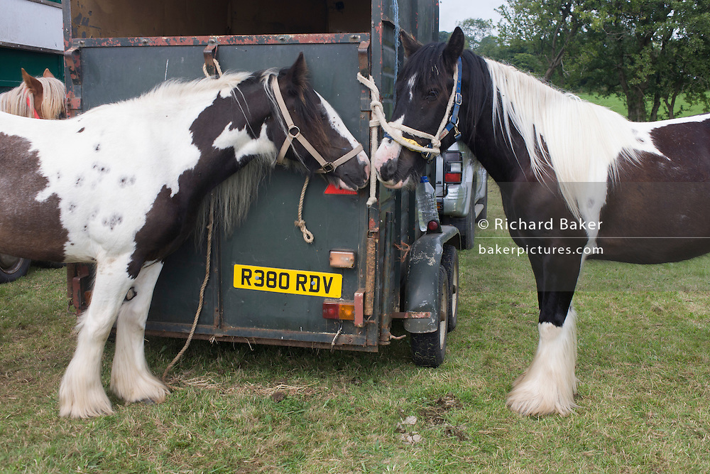 Travellers' horses rest during the ancient annual Priddy Sheep (and horse) fair in Somerset, England. Set in the Mendip Hills, in the south-western English county of Somerset, the Priddy Sheep fair is host to an odd mix of farmers and travellers (commonly and incorrectly known as gypsies). In this field set aside purely for travellers, many with West Country accents but also with nearby Welsh and Irish too, deals are done with a traditional spit on the hand and a smacking of palms, selling a pony to another family. The Priddy Sheep Fair moved from the city of Wells in 1348 because of the Black Death.