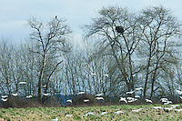 A Bald Eagle (Haliaeetus leucocephalus) near it's nest watches Snow Geese (Chen caerulescens) wintering at the Skagit River delta in Skagit County, Washington, USA. snowgeese, snowgoose, birds in flight, aves, snow geese, snow goose