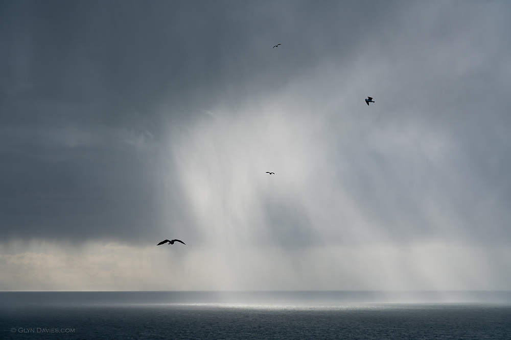 Herring Gulls soaring on dramatic thermals above the cliffs on Anglesey's North Coast.