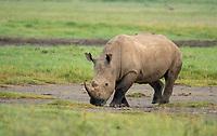 Southern White Rhinoceros, Ceratotherium simum simum, in Lake Nakuru National Park, Kenya
