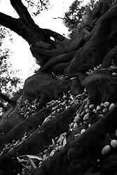 02/12/2010 Acquaviva delle Fonti, retina piena di olive...La raccolta delle olive e la produzione dell'olio extravergine sono un rituale che si protrae da moltissimo tempo in Puglia, questo avviene solitamente nel periodo che va da novembre a dicembre, mentre il lavoro di preparazione e coltivazione si svolge lungo tutto l'arco dell'anno..La raccolta è seguita nella maggior parte dei casi, quando le olive non vengono vendute all'ingrosso, dalla molitura presso gli oleifici per la produzione di quello che da queste parti viene chiamato anche oro verde..
