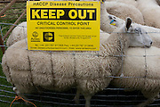 Sheep up for auction kept behind fencing to avoid the spread of diseases at the ancient annual Priddy Fair in Somerset, England. A sign issued by the government's disease control policy, unauthorised visitors are forbidden to enter the catle pens, avoiding the spread of epidemics like Foot and Mouth. According to tradition, Priddy Sheep Fair moved from Wells in 1348 because of the Black Death, although evidence has been found of a Fair being held at Priddy before that. There is a local legend, which says that as long as the hurdle stack shelter remains in the village, so will the Fair.