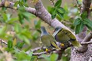 Pair of African green pigeon (Treron calvus) from Zimanga, South Africa.
